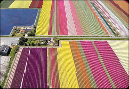 http://irantriz7.persiangig.com/image/irantriz11/tulip.jpg